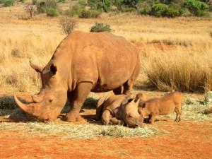 Nashörner in Südafrika