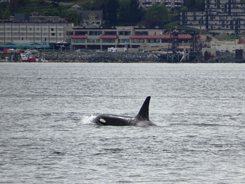 Orca Wale bei Campbell River