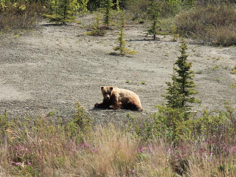 Grizzly-Bären bei einer Tour.