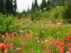 Blumenwiese bei Revelstoke - Rundreise von Vancouver bis Calgary