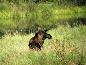 Elch im Algonquin Nationalpark