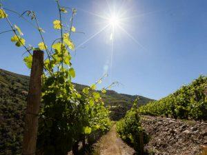 Douro druiven wijn