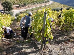 douro vallei wijnoogst